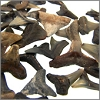 Florida Dark Shark Teeth - Unwired - 25 pcs